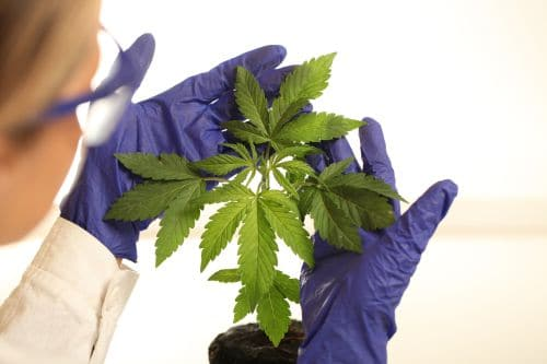 cbd cannabis pflanze bild